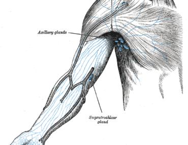Sistema linfático: Equilibrio y defensa de nuestro organismo