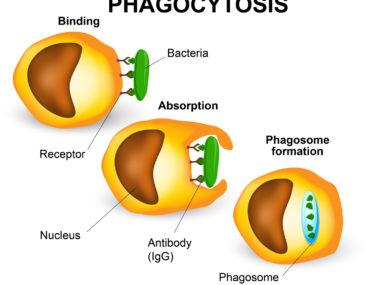 ¿Qué es la fagocitosis?