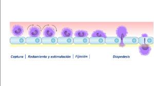¿Qué es el déficit de adhesión leucocitaria?